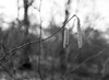 Catkins, first signs of spring (Hyons Wood) (Jonathan Carr) Tags: ancient woodland black white bw monochrome mediumformat rural northeast mamiya 6x45 catkins bokeh