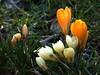 Der Frühling kommt (dorisgoebel) Tags: krokusse crocuses gelb yellow weis white blumen flowers