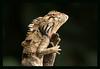Changeable lizard (wildcreaturesasia) Tags: hongkongwildlifenatureanimalscolourphotocanonlifeconser hong kong south china red throat changeable blood sucking garden lizard reptile robert ferguson february 2018