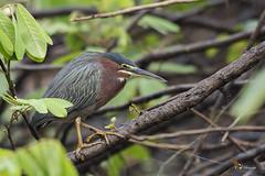 Green Heron (fernaabs) Tags: green heron butorides virescens chocuaco martínpeña garcillaverde pelecaniformes ardeidae aves fernaabs burgalin avesdecostarica