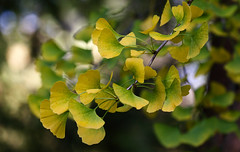 Ginkgo Pleasure (AnyMotion) Tags: ginkgo ginko ginkgobiloba maidenhairtree leaf leaves blatt blätter autumncolours herbstfärbung tree baum bokeh nature natur cemetery 2017 frankfurt anymotion maincemetery hauptfriedhof hessen germany 7d2 canoneos7dmarkii colours colors farben yellow gelb green grün autumn fall herbst automne otoño