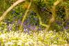 Wild Garlic and Bluebells (SLHPhotography1990) Tags: 2017 bemebridge brading marsh may nikon soph nature native white garlic wild flowers blue bluebells bells wood woodland scene english british