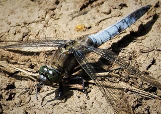 Black-tailed Skimmer Orthetrum cancellatum