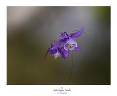 ..............🎂................ (.... belargcastel ....) Tags: flowers macro españa spain galicia belargcastel cumplemontse aquilegias flores
