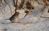 White Throated Sparrow (thoeflich) Tags: white throated sparrow whitethroatedsparrow january songbirds birds backyardfeeder