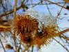 Burdock with snow Cap (abrideu) Tags: abrideu panasonicdmctz20 burdock snow seedhead outdoor hedge macro ngc npc