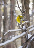 Yellow warbler in the Snow (Lit & Lettres) Tags: bird snow yellow winter gray warbler