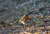 Il pettirosso (supersky77) Tags: pettirosso europeanrobin robin bird uccello erithacusrubecula torbieredelsebino sebino iseo brescia lombardia lombardy lombardei lombardie prealpi