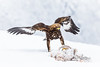 Frozen prey (CecilieSonstebyPhotography) Tags: norway bokeh markiii 150600mmf563dgoshsmsports014 january winter wings closeup canon5dmarkiii goldeneagle prey aquilachrysaetos canon eagle eagles snow specanimal specanimalphotooftheday