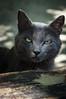 Blacksad (SaschWa) Tags: katze schwarz cat black tiere animals schatten sony a37 sonya37 dt1650mmf28ssm