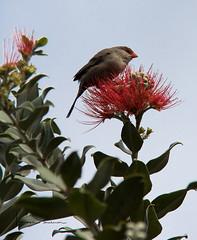 waxbill (tsd17) Tags: wildlife grancanaria botanicalgarden waxbill canon7dmk11