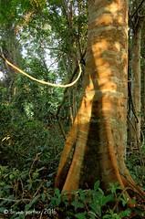 La forêt d'Iboubikro / Iboubikro forest, Réserve de la Lesio-Louna, CONGO - 29/05/2016 (brun@x - Africa: birds & more) Tags: 2016 africa african landscape paysage congo brazzaville lesiolouna lacbleu afrique bruno brunoportier nikon iboubikro d7000 arbre canopée canopy tree trunk forest foret tropicale tropical forêt