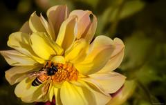 (kumherath) Tags: kumariherathphotography canon5dmark3 macro yellow flower dahlia bee