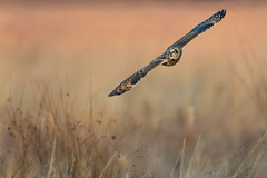 Shortie on the Wing (PhillymanPete) Tags: wildlife shortearedowl bird asioflammeus flight seo nature bif birdsofprey polefarm farm owl raptor birdsinflight mercermeadows pennington newjersey unitedstates us nikon d500