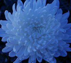 Blue hour (verona39) Tags: monochrome plant nature blue mum