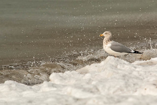 Gull in the Spray