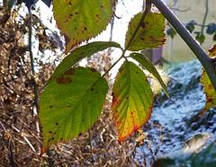 (claudine6677) Tags: brombeere blätter herbst winter farben sonne autumn fall sun leafs blackberry