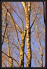 """""""Wood for the Trees..."""" (NikonShutterBug1) Tags: nikond7100 nature spe smartphotoeditor tamron70300mm wiganflashes tree"""