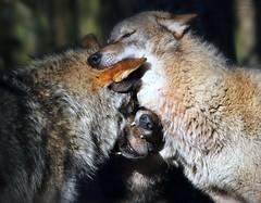 JUST WOLVES (babsbaron) Tags: nature tiere animals säugetiere mammals raubtiere wildtiere predators hunter jäger canon caniden wolf wölfe wolves europäischergrauwolf europeangreywolf lüneburg lüneburgerheide wildpark