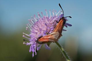 Thymian-Widderchen (Zygaena purpuralis) bei der Paarung