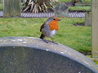 Robin in the Howff