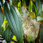 Japanese White-eye (Zosterops japonicus) building a fluffy nest thumbnail