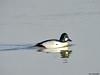 Common Goldeneye (Corine Bliek) Tags: bucephalaclangula vogel vogels winter watervogels bird birds nature natuur wildlife lake waterbirds meer