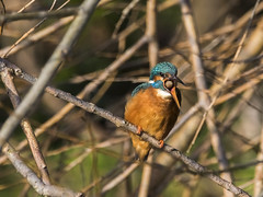 Kingfisher Regurgitation (mond.raymond1904) Tags: kingfisher dodder regurgitating regurgitaion river dublin bird pellet