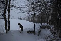 Nasco sous la neige (bulbocode909) Tags: suisse chiens animaux nature montagnes neige hiver arbres brouillard troncs
