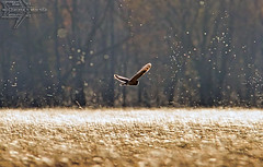 It's All a Dream (Winglet Photography) Tags: wingletphotography georgewidener stockphoto earth wisconsin canon 7d georgerwidener nature wildlife outdoor bird animal owl shorteared chilton killsnake dreamy ethereal golden