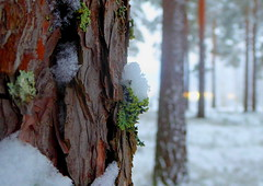 Snowy Forest (Lilith.S) Tags: nature winter forest snow cold macro lichen landscape earth world walk beauty