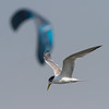 Crested Tern & blue kite (Mikey Down Under) Tags: bulli crested flying illawarra kite nsw sandonpoint southcoast surfer surfing tern blue