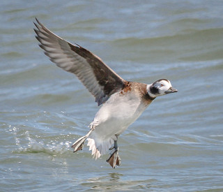 Long-tailed Duck Hen