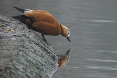 Casarca - Tadorna ferruginea (Alberto Piselli) Tags: racconigi casarca avifauna centrocicogneeanatidilipu