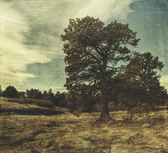 pinyon proud (jssteak) Tags: canon t1i colorado morning winter pinyon pine tree sky clouds hdr aged vintage