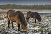 Rainton Meadows, Houghton (DM Allan) Tags: shetlandponies shetland grazing raintonmeadows houghton winter snow countryside cold chilly animals