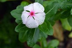 WOL Calauan Laguna Philippines Day 7 (81) (Beadmanhere) Tags: philippines flowers