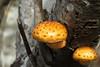 Pholiota flammans (Yellow Pholiota, Flaming Pholiota, Flame Scalecap) - Grays Harbor NWR, WA (Nick Dean1) Tags: fungi mushroom washington washingtonstate washingtonusa toadstool graysharbor graysharborcounty graysharbornationalwildliferefuge graysharbornwr yellow fungus speckled agaricmushroom agaric basidiomycete
