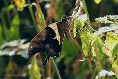 IMG_6360 Papilio horribilis (Raiwen) Tags: papilionidae papilioninae papilionini papilio insect butterfly africa westafrica guinea guinéeforestiere papiliohorribilis