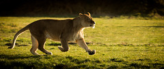 Sprinting Home Happy! (NiallBellPhotography) Tags: big cat lion lioness yorkshire wildlife park nature photography