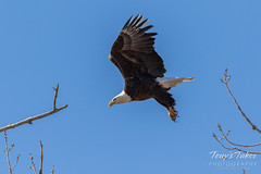 Bald Eagle departure - 4 of 5