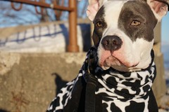 Moo cow (daebreyk) Tags: pitbull pitbullterrier inherentlygood adoptdon'tshop pitcows pitbulls