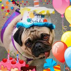 """Your face when you're singing 🎶HAPPY🎁BIRTHDAY🎈to your MOM🎉!"" -PugsleyLuigi  #pug #dog #happybirthday #mom #love #face #singer #birthday #birthdaygirl #birthdaycake #birthdayparty #presents (TheZenOfPugsleyLuigi) Tags: pug dog happybirthday mom love face singer birthday birthdaygirl birthdaycake birthdayparty presents"