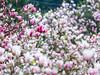木蓮 (紅襪熊(・ᴥ・)) Tags: olympus omd em1 m43 micro43 microfourthirds olympusem1 木蓮 辛夷 モクレン 木蘭花 magnolia 迎春花 白玉蘭 木筆花 毛辛夷 sigma 150mm macro bokeh sigma150mmmacro apo f28 sigmaapomacro150mmf28 sigmamacro150mmf28 150mmf28 sigma150mmf28