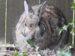 BackyardRabbit (deborah.kirner) Tags: naturebynikon