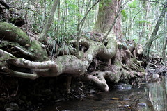 Brush Box (Lophostemon confertus) (Poytr) Tags: myrtaceae subtropicalarf subtropicalrainforest wayway macksville nsw nswrfp arfp qrfp marginalarfp talltree root brushbox lophostemon lophostemonconfertus yarriabininationalpark