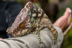 Madagascar-2979-_DSC2557 (beppevig) Tags: madagascar africa animali animals wild chameleon camaleonte