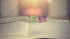 The Book of Roses... (KissThePixel) Tags: rose redrose red flower redflower music musicscore musicbook macro bokeh bokelicious dof dofalicious depthoffield january nikon nikondf nikkor nikkor12 50mm light stilllife stilllifephotography still vintage sunday creative