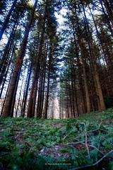 Abete-bianco (Dalia-Nera) Tags: alberi abete tree forest green