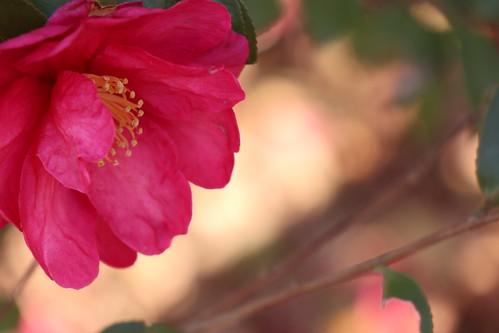 まっ赤な山茶花